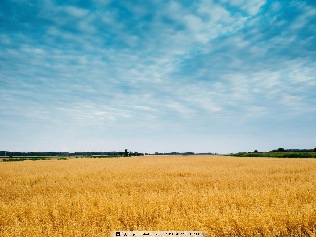 蓝色天空下的麦田,背景 大图 风景-图行天下图库