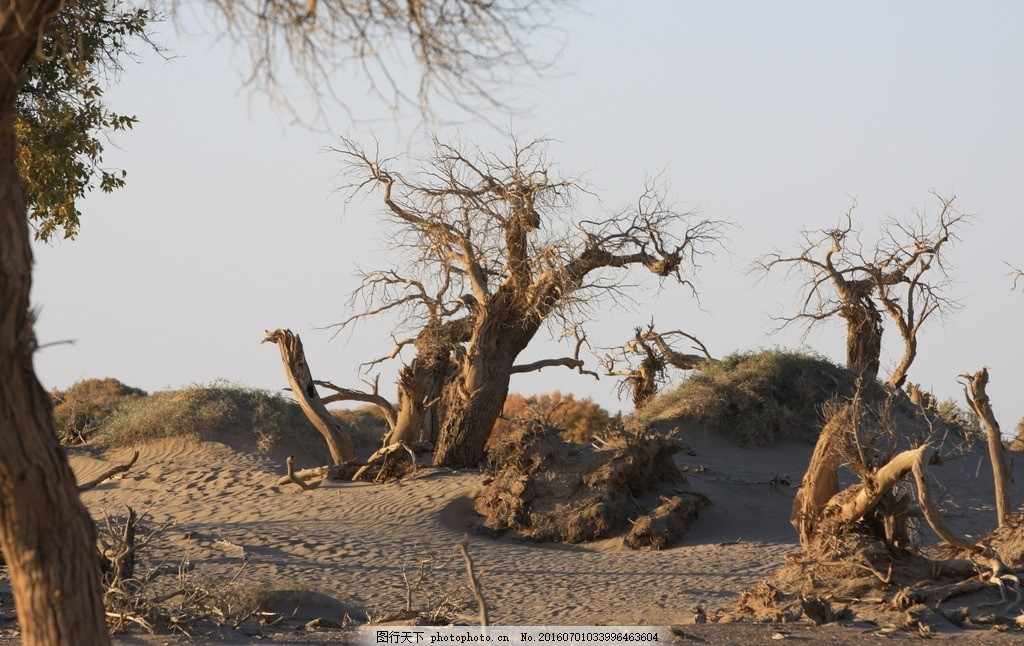 额济纳 内蒙 胡杨 死亡 干枯 怪树林 沙漠 老树 沙漠里的树 胡杨树