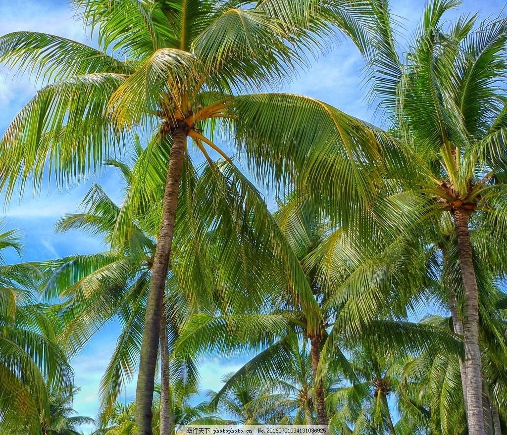 椰子树 椰树 椰子 热带 植物 树 海南风光 蓝天 白云 花草树木叶 摄影