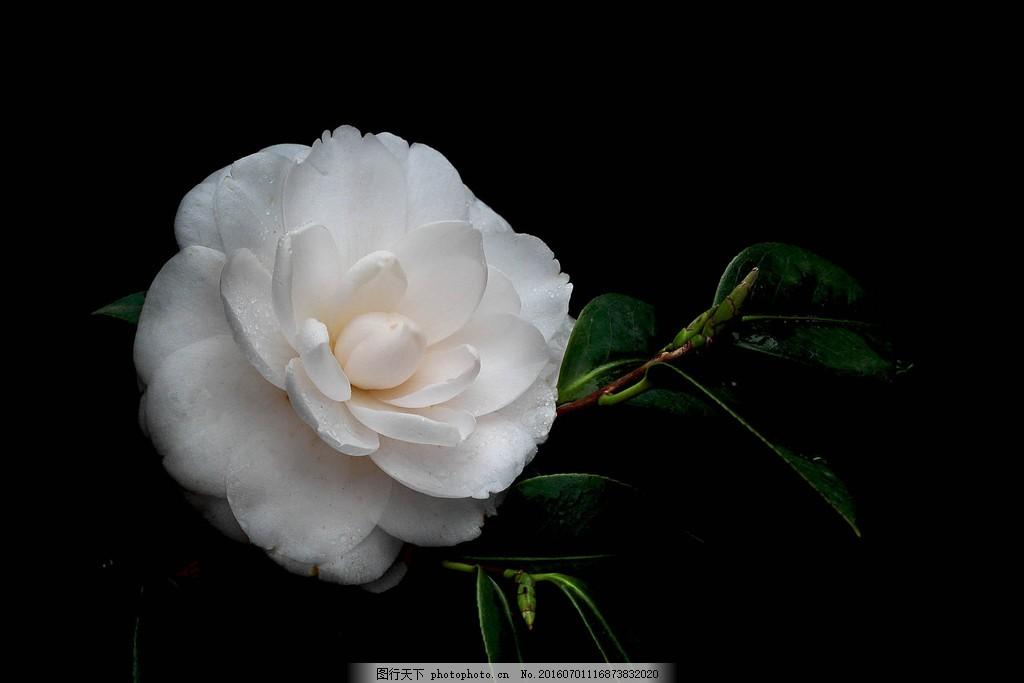 唯美白色山茶花图片