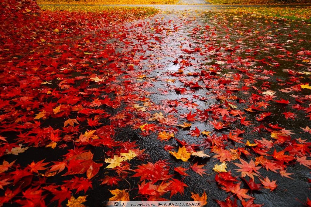 高清背景图片枫叶图片 秋季枫叶满地雨后秋季地面图红色背景图高清