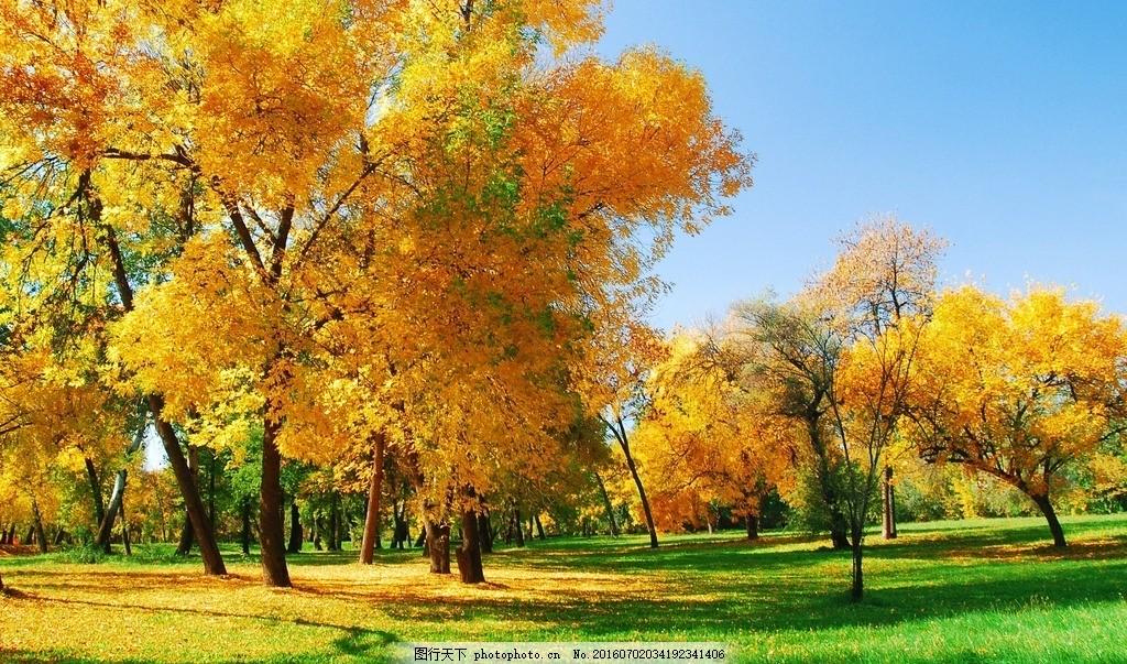 枫树林 天空 蓝天 云彩 白云 草地 树木 枫树 树林 风景 摄影 自然