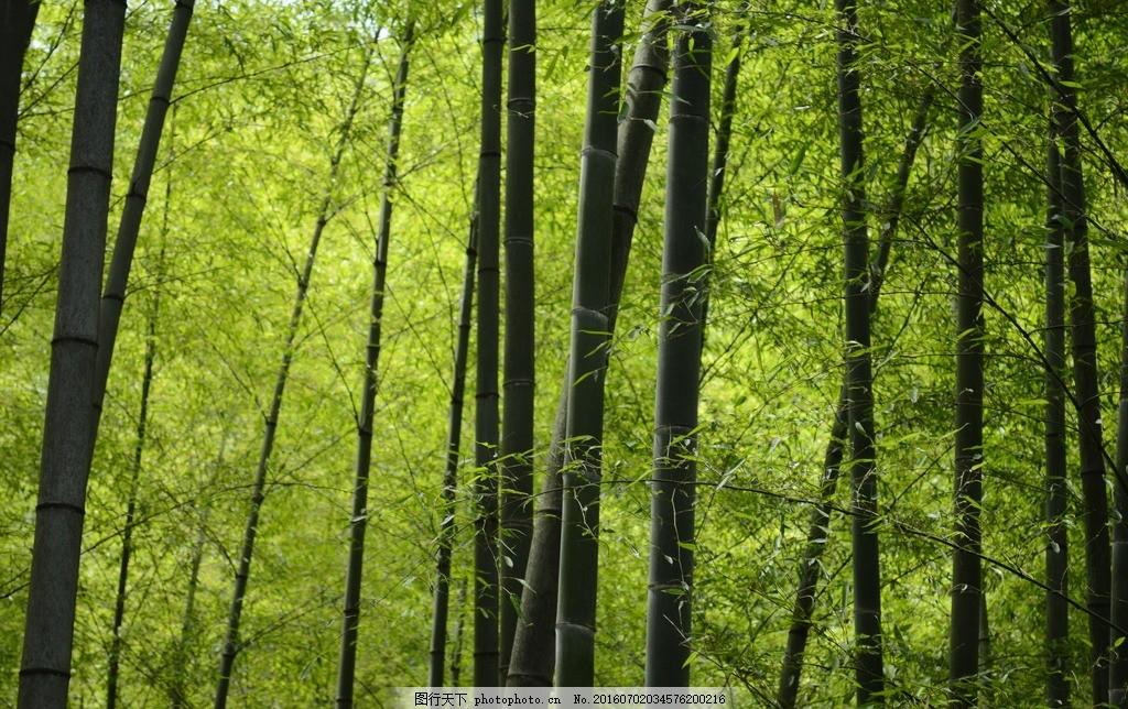 竹林 竹子 绿色 自然 竹叶 摄影 自然景观 田园风光 300dpi jpg
