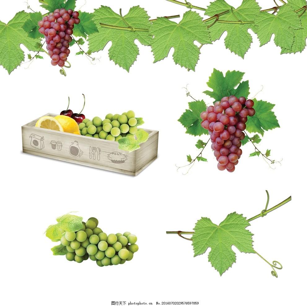 葡萄 葡萄藤 绿叶 水晶葡萄 绿葡萄 绿提 紫葡萄 卡通葡萄素材 矢量
