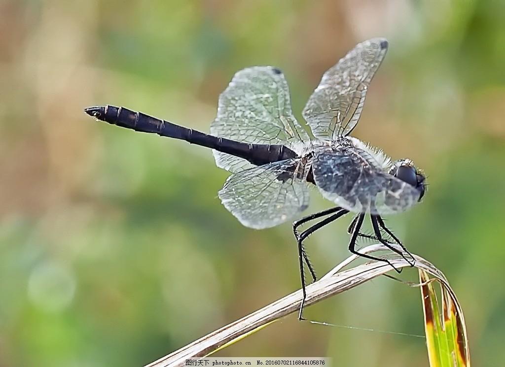 巨型蜻蜓 巨型蜻蜓高清图片素材下载 小蜻蜓 豆娘 节肢动物 黑色蜻蜓