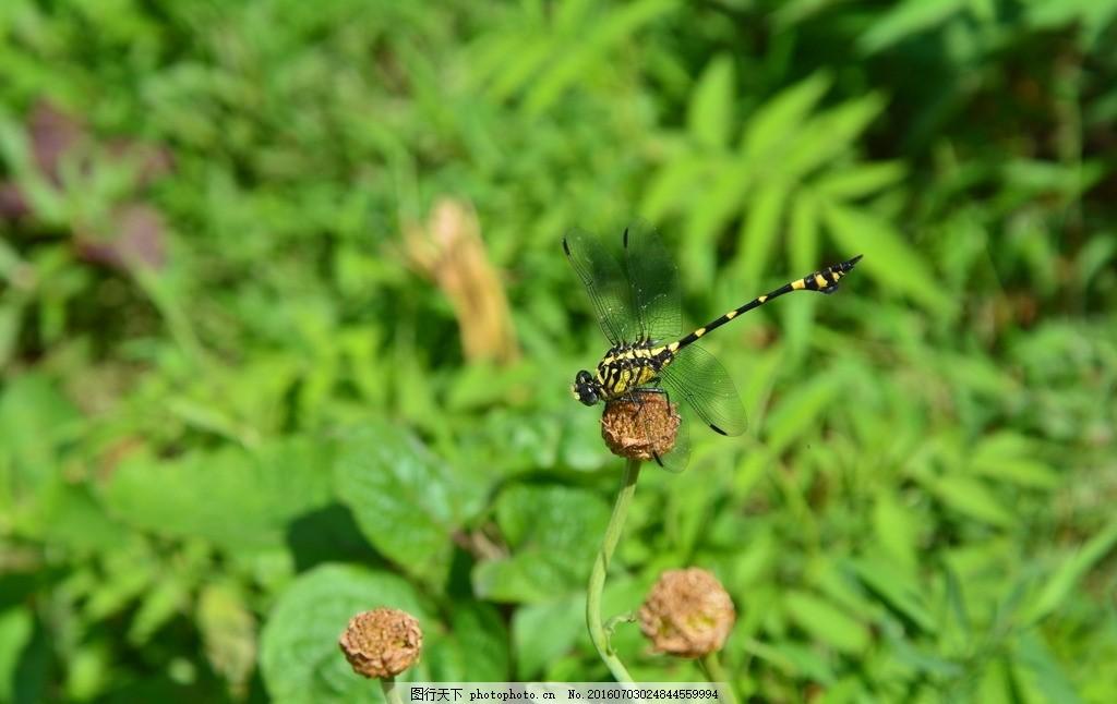 蜻蜓 绿色 昆虫 动物 杂草 摄影 生物世界 昆虫 300dpi jpg