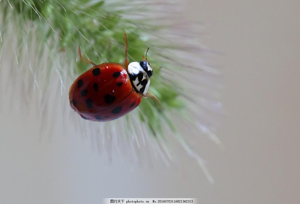 七星瓢虫图片大全 七星瓢虫图片大全素材下载 昆虫 虫子 小动物