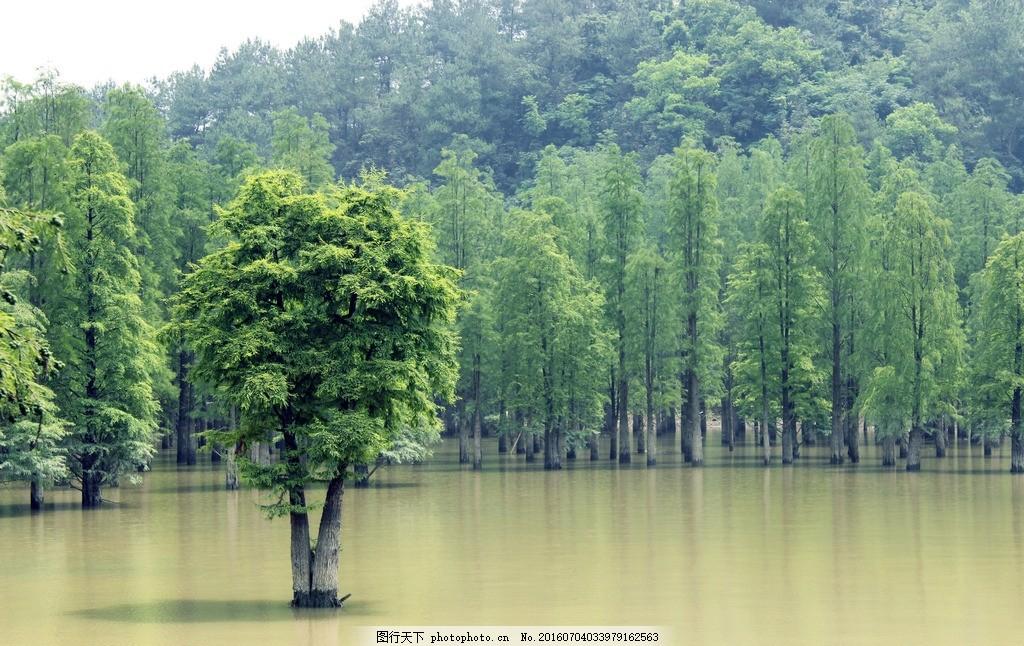 水杉 水杉树 树林 一棵树 摄影 风景照片 绿色 绿化 国内旅游