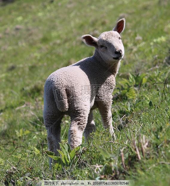 转过头来的小羊