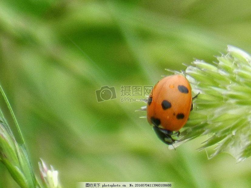 绿草上的瓢虫 金龟子 动物 春天 花草 植物 自然 红色