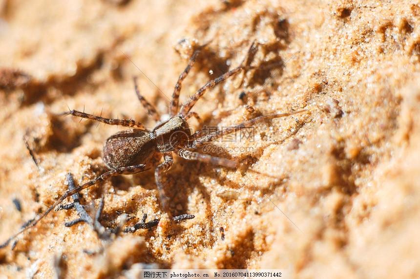 沙滩上的蜘蛛 特写 动物 爬行 野外 白天 红色