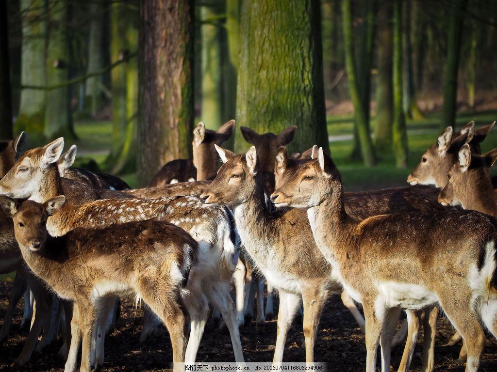 一群獐鹿高清 保护动物 野生动物 香獐 獐子