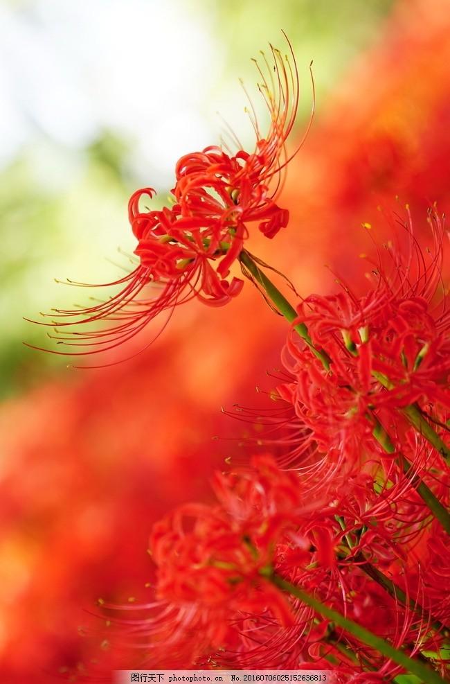 唯美 植物 自然 鲜花 花 花朵 花卉 彼岸花 摄影 生物世界 花草 72dpi