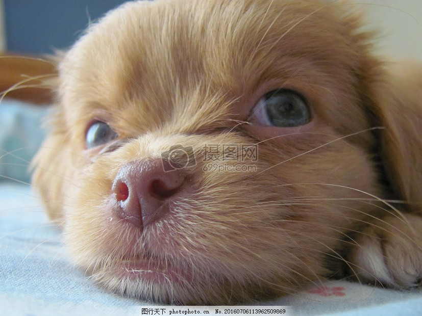 趴着的小黄狗 佩莹 小狗 宠物 朋友 可爱 动物 趴着 眼睛     红色