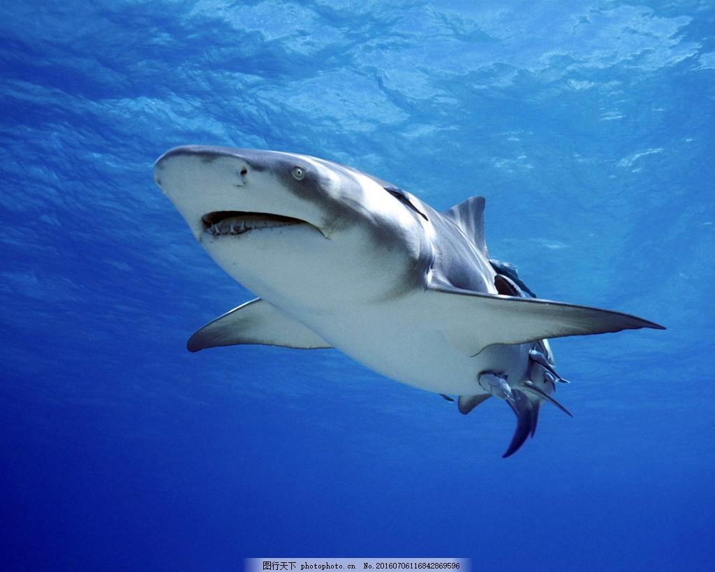 海洋大鲨鱼图片
