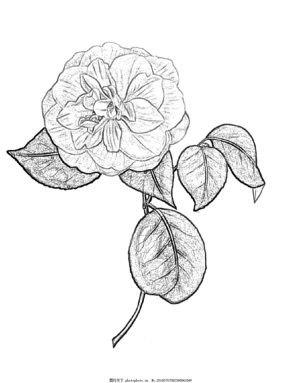 黑白茶花素描 黑白 茶花 素描 花朵 花蕾 黑白花