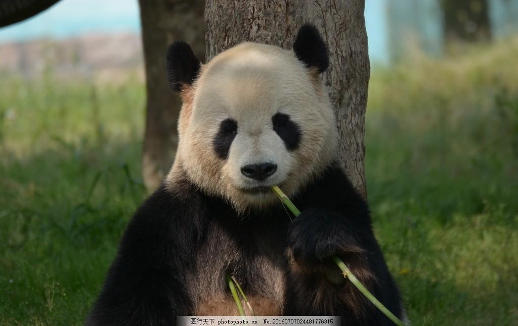 熊猫吃竹子 上海市 野生动物园 观赏 旅游景点摄影