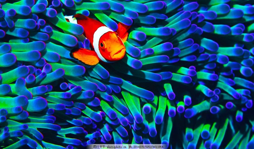 小丑鱼 小鱼 海藻 绿色海藻 自然风景 摄影