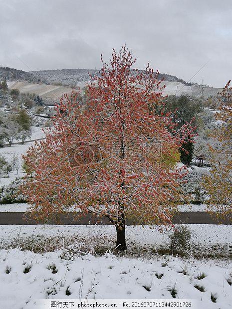 冬天雪地里红色树木 冬季高炉 枫叶 叶子 秋季树木 树叶 树干图片