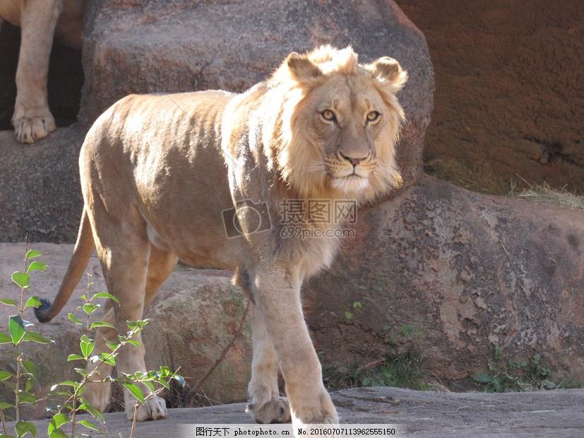 行走中的狮子 野生动物 地面 光芒 尾巴 耳朵 红色