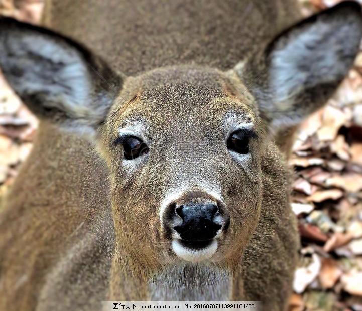 望向镜头的鹿 野生动物 森林 自然 哺乳动物 亨特 猎鹿 鹿头