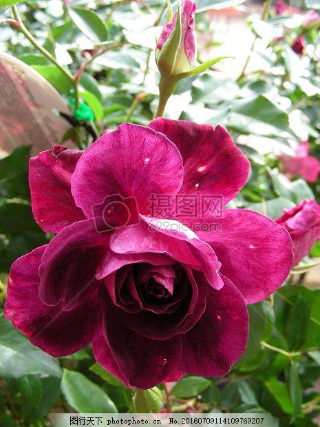 深宫风云之玫瑰_美丽的深粉色玫瑰