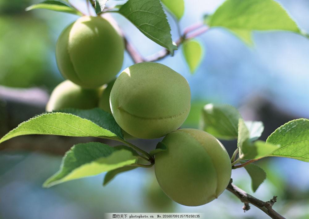 桃子素材 桃子素材图片素材 水果 果树 桃树 树枝 阳光 蓝天