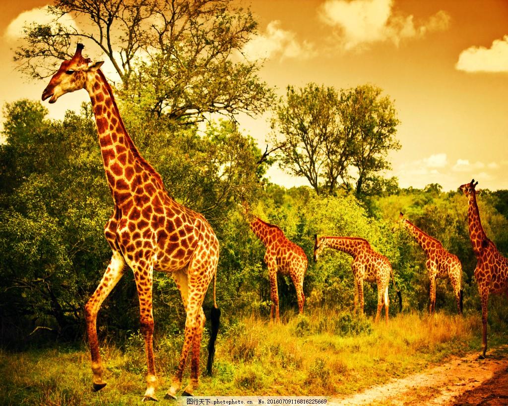 长颈鹿 正在吃树叶的长颈鹿高清图片下载 晚霞 树林 夜晚 森林
