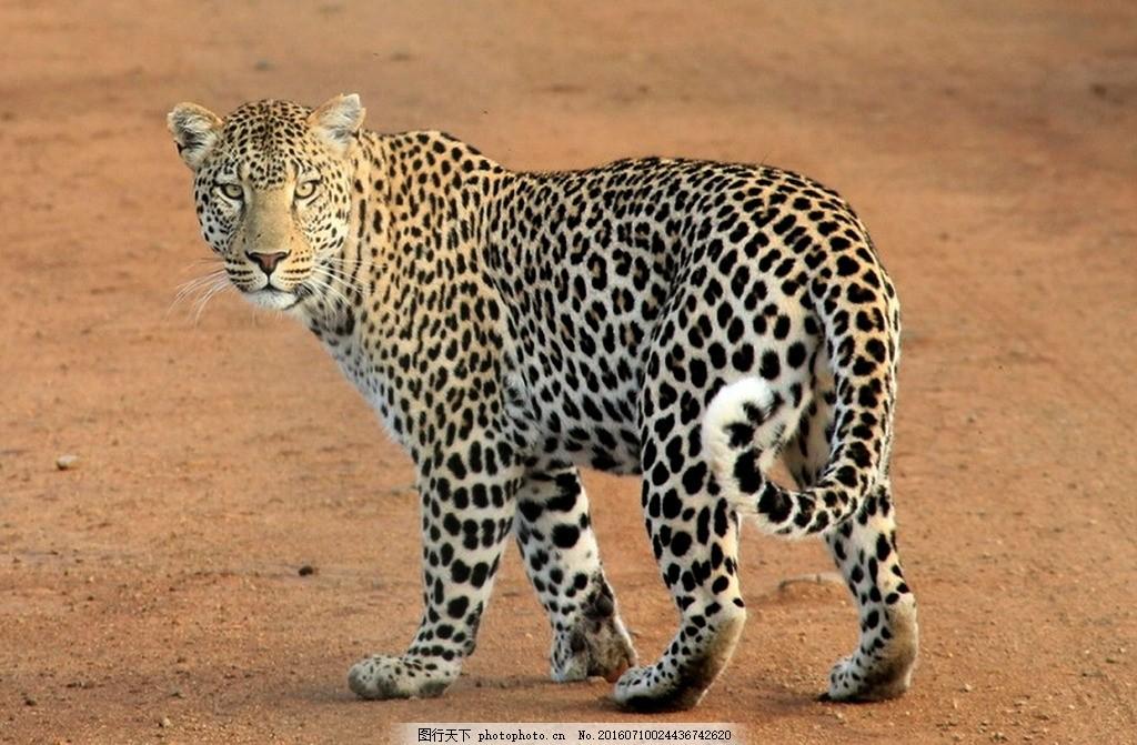 唯美 炫酷 可爱 野生 花豹 豹子 摄影 生物世界 野生动物 72dpi jpg
