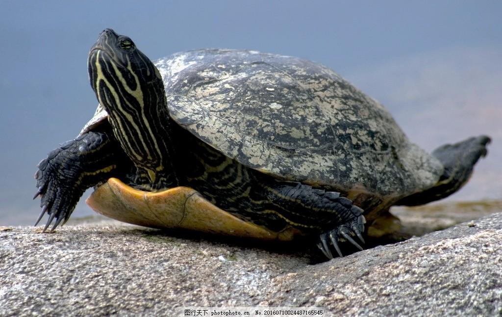 陆地龟 乌龟 石块 石头 乌龟壳 爬行 动物 两栖动物 爬行动物