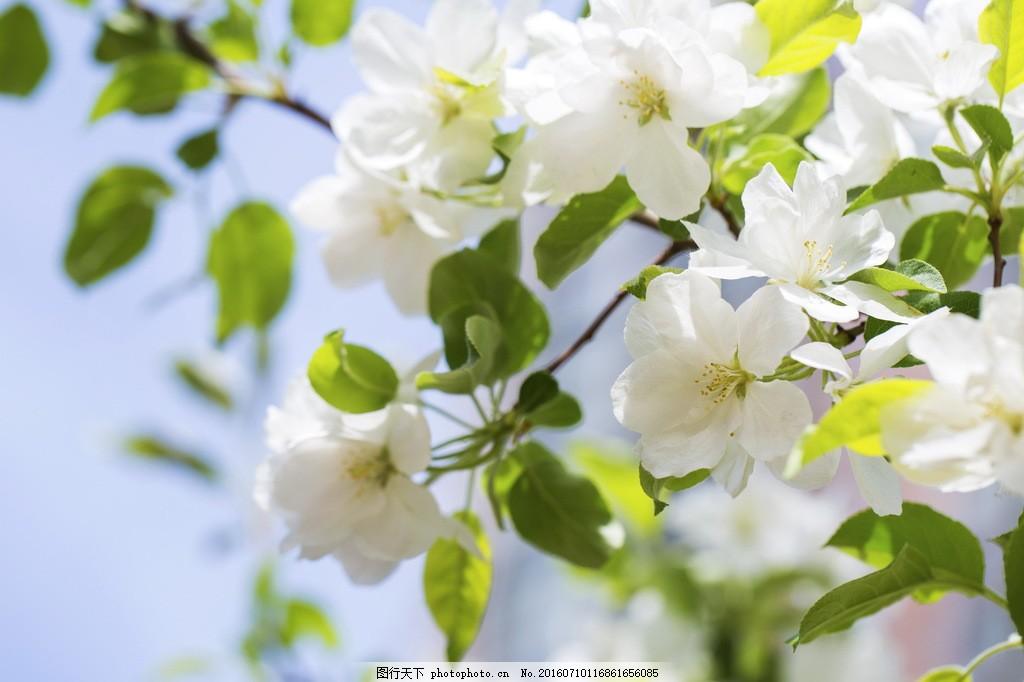 白色海棠花图片