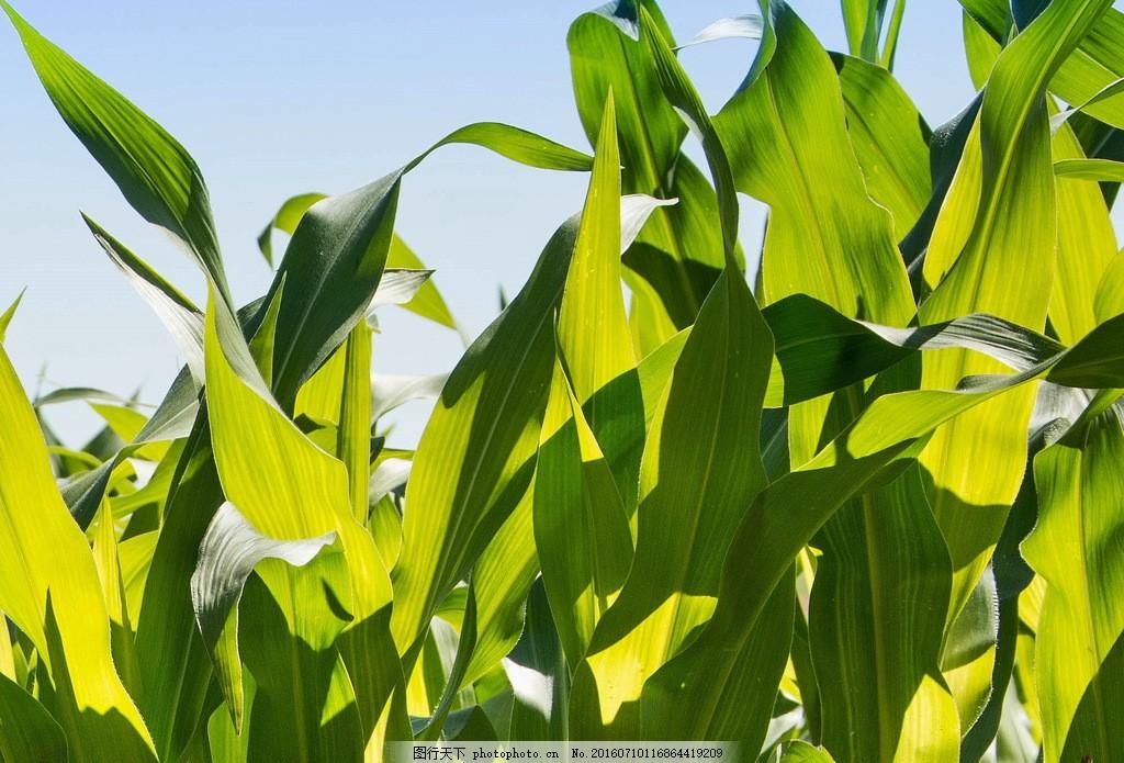 绿色玉米叶图片绿色玉米叶图片素材下载 玉米叶子 玉米叶 叶子 绿叶