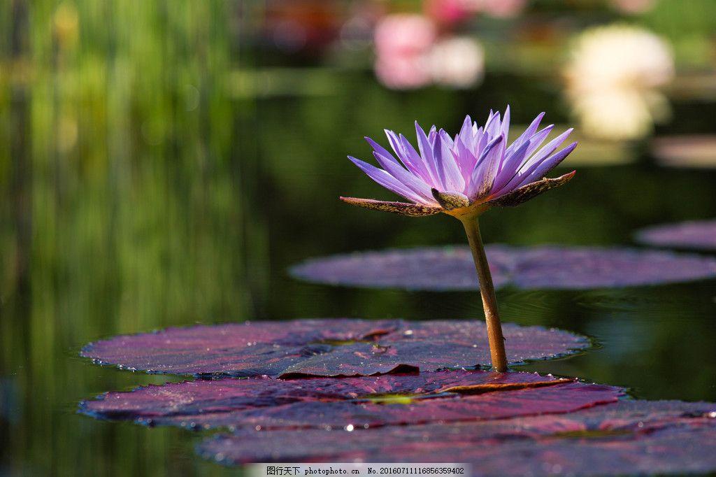 高清睡火莲 高清睡火莲图片素材下载 睡莲 紫色睡莲 莲花 紫花