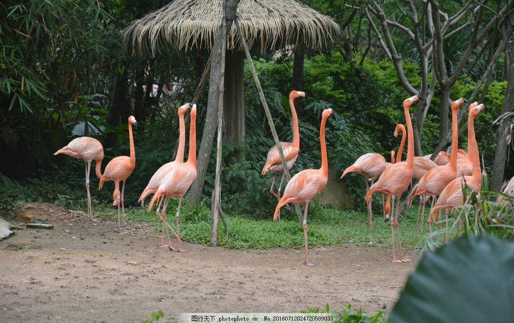 火烈鸟 红鹳 红鹤 动物 旅游摄影