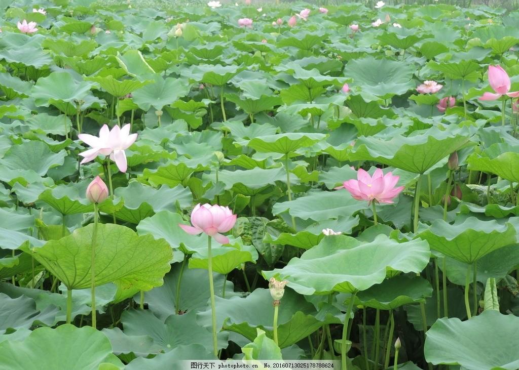 荷塘 荷花池 莲花 荷花 荷叶 荷花摄影 植物 花 摄影 生物世界 花草 3