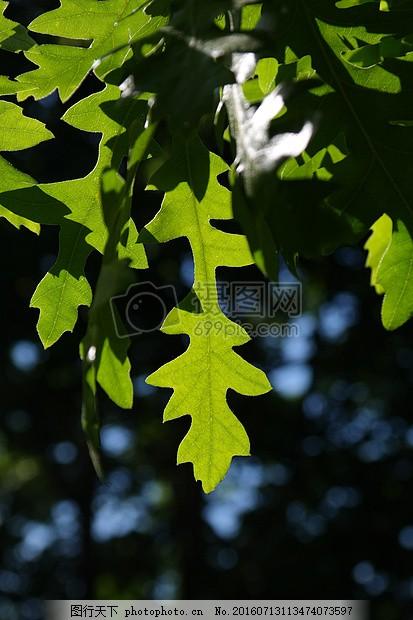 阳光下的绿叶背面 叶子 绿色 背光 彪炳 浅绿 锯齿状 瓣 泽王国叶片图片