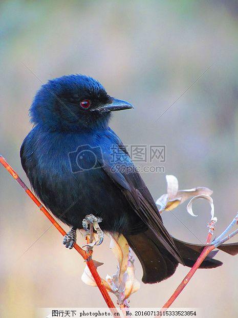多彩鸟 动物 自然 野生动物 红色