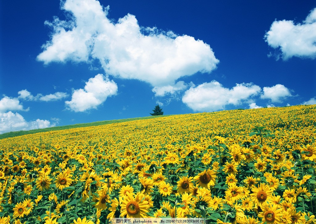 向日葵花海唯美 向日葵高清图片 向日葵桌面壁纸 向日葵风景图片