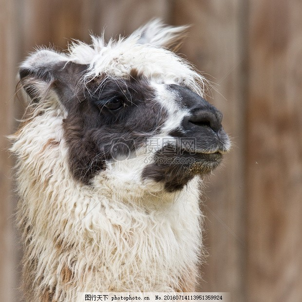 糟糕的一天--羊驼 糟糕的一天羊驼 坏 头发 动物 毛皮 火焰