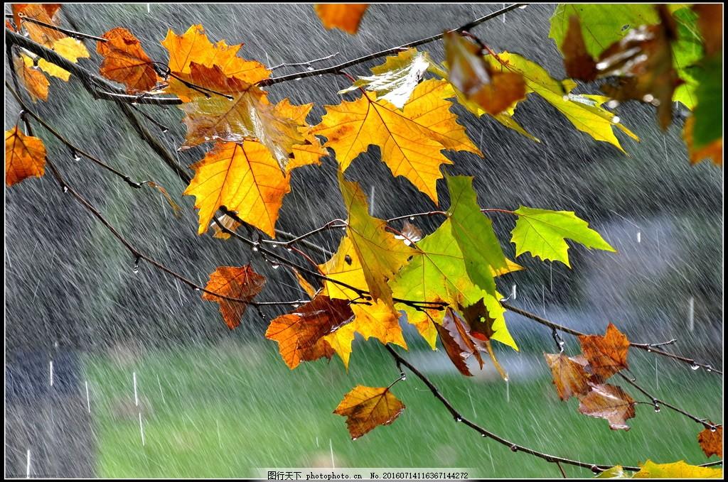 唯美雨天枫叶风景图片