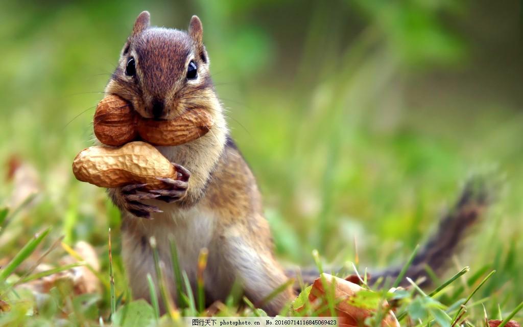 高清素材 动植物  可爱金花鼠高清图片下载 小松鼠 老鼠 动物 昆虫