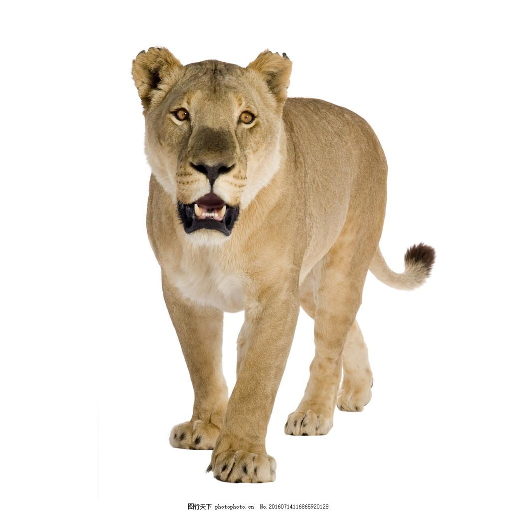 野生非洲狮 野生非洲狮高清图片下载非洲动物 野生动物 猛兽 野兽