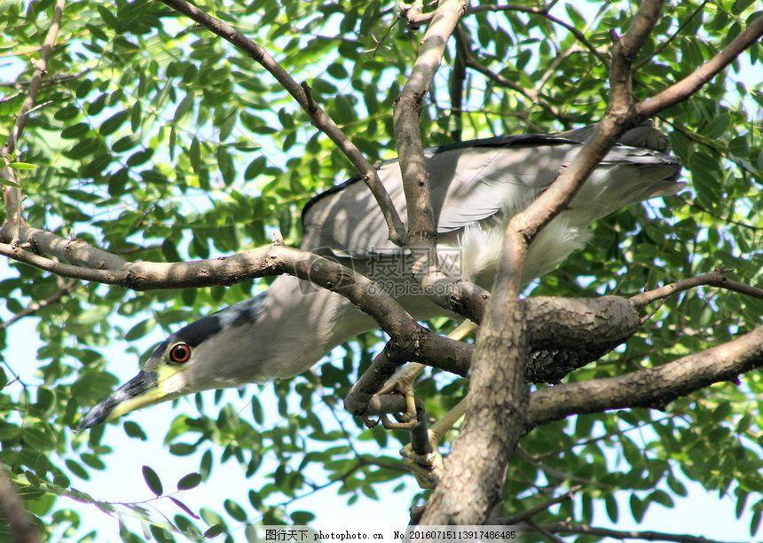 站在树枝上的小鸟 黑冠 夜间鹭 苍鹭 站立 树枝 枝头 树干 小鸟