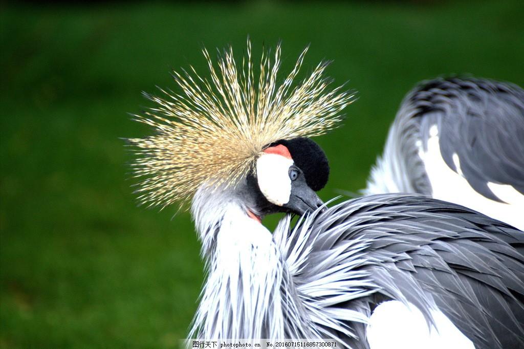 灰冠鹤图片,灰冠鹤高清图片素材下载 冠羽 东非冠鹤