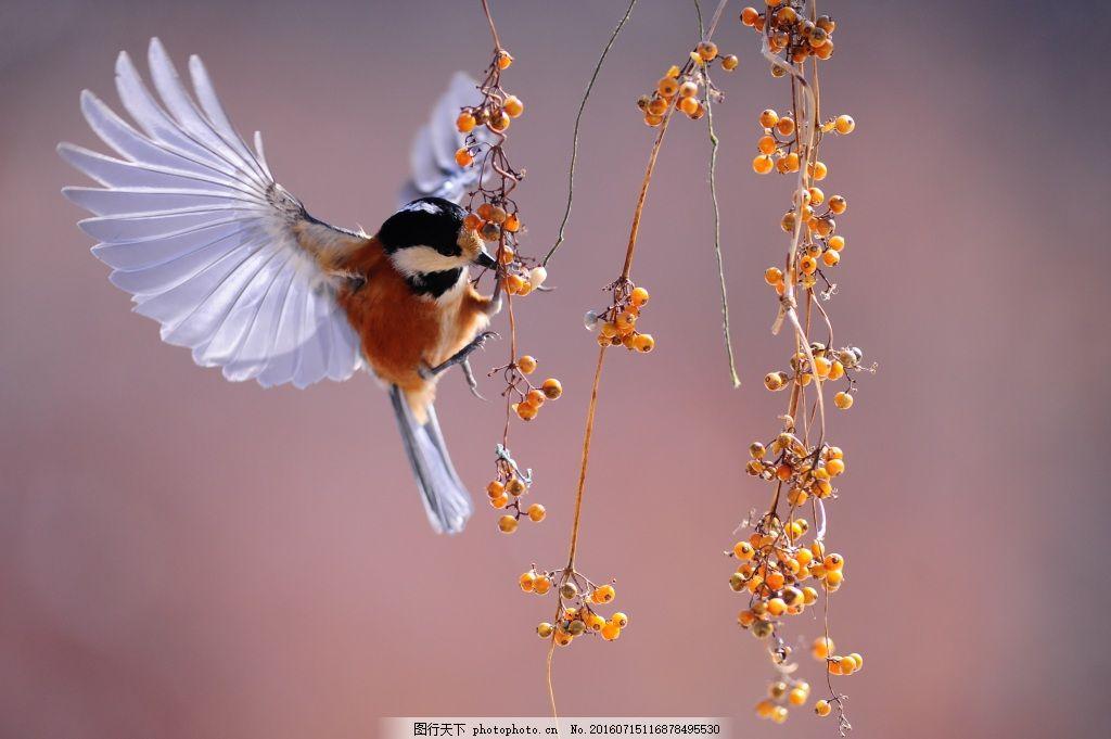 大自然鸟类 鸟 大自然 公园 动物 鸟类 飞     紫色 jpg