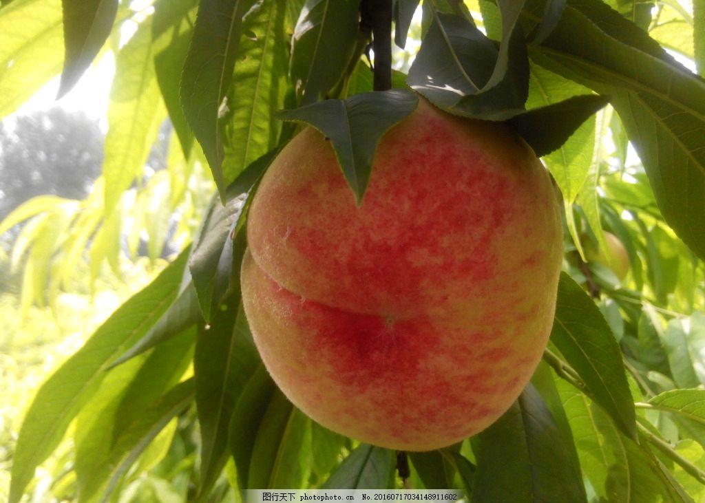 桃子 红桃 大桃 水果 果实 摄影 自然景观 自然风景 72dpi jpg