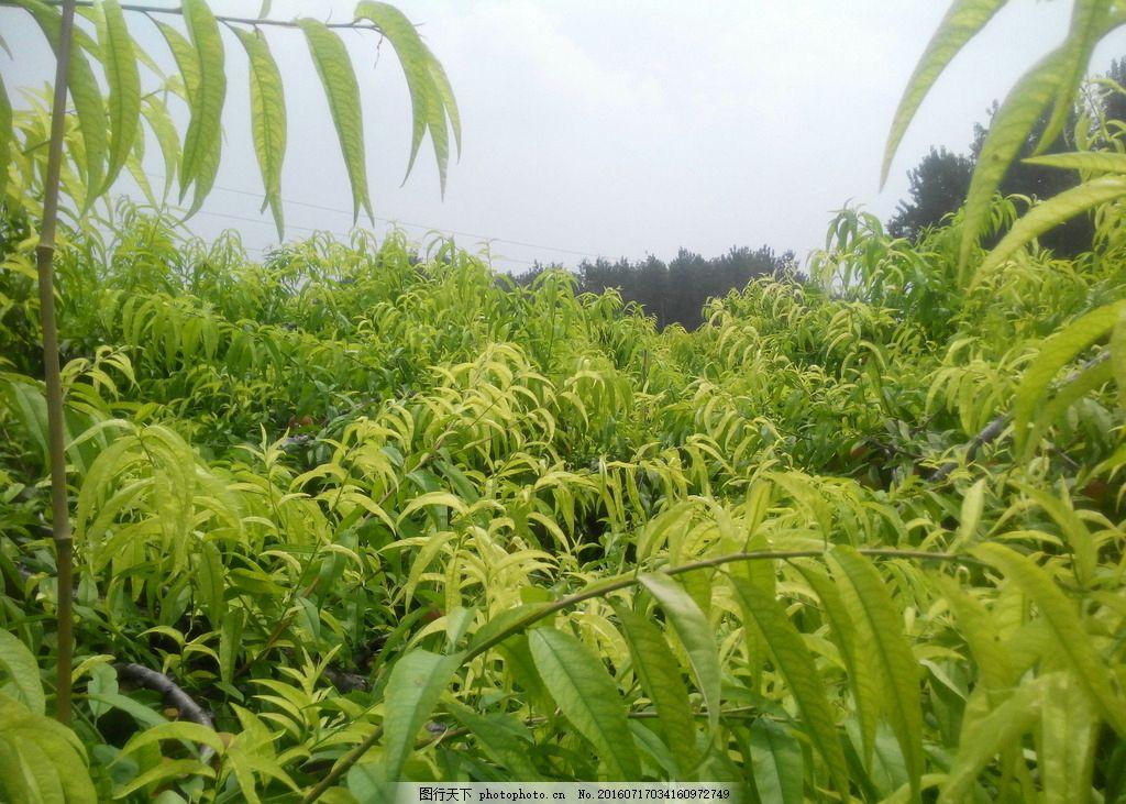 桃树林 桃树 果园 果树 树林 树木 摄影 自然景观 自然风景 72dpi jpg
