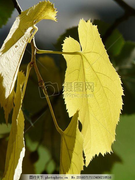 阳光下的树叶 叶子 叶边距 锯齿状 林德 影子阳光 植物 红色图片