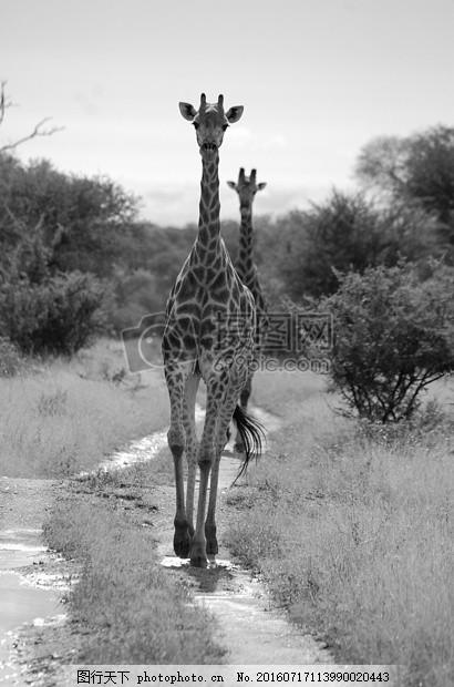 长颈鹿 野生动物园 非洲 高大 动物学 灰色