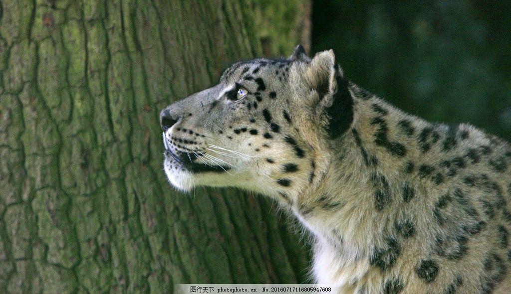 雪豹 野生雪豹高清壁纸素材图片下载 猎豹 野生动物 图片素材